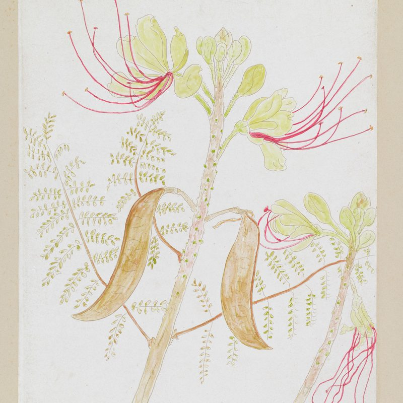 Plant Drawing by Cedric Morris